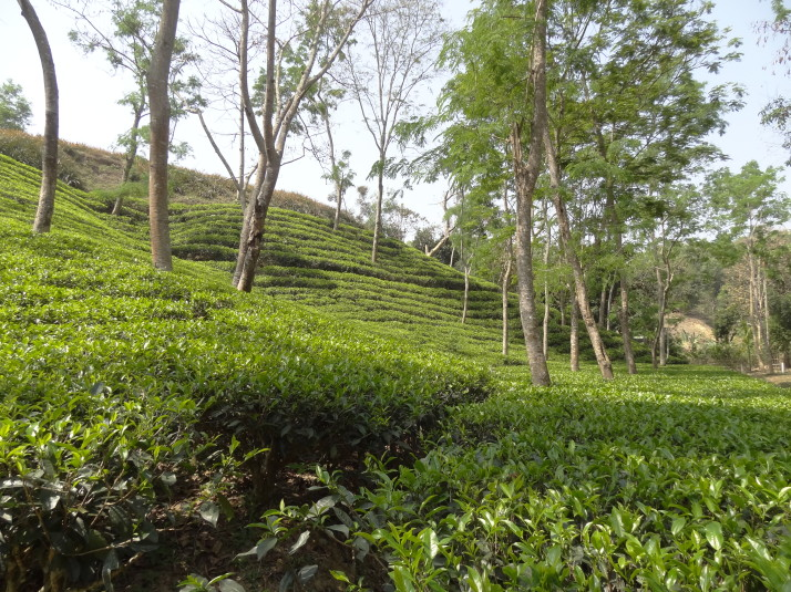 Tea plantations in Srimongol