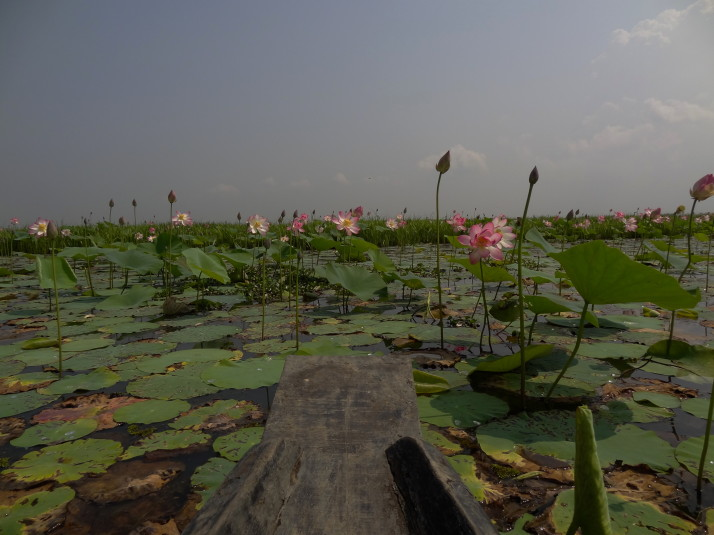 Floating through the lotus pond