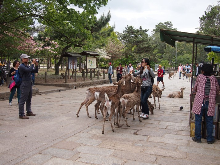 National Treasures, protected messengers of the Gods and cookie-monster-esque devourers of shiki-sembei (deer biscuits)