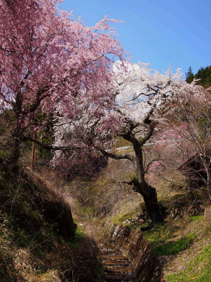 250 year old weeping cherry tree of Ichikoku-tochi
