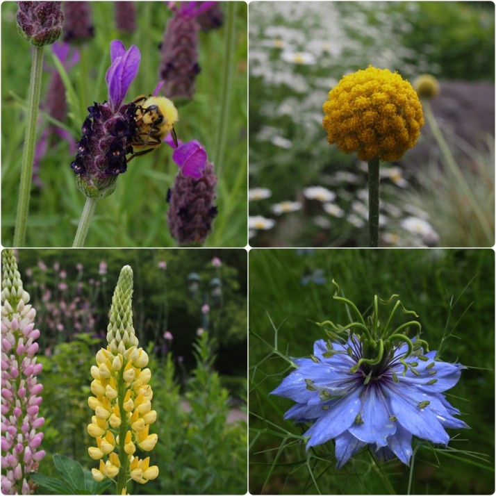 Herbs and flowers at the Kobe Herb and Flower Garden. Clockwise from top-left: Honey bee collecting lavender pollen, round yellow flower (Allium); pretty blue flower (Cornflower); pointy yellow flower (Lupin)