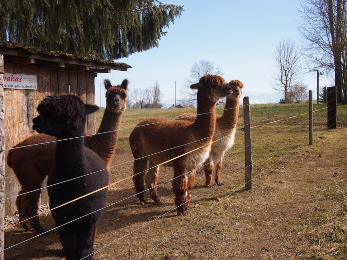 Swiss Alpacas