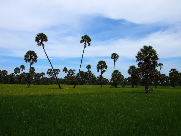 Rice fields near Kampot