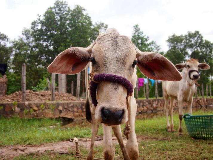 Calf near Kampot