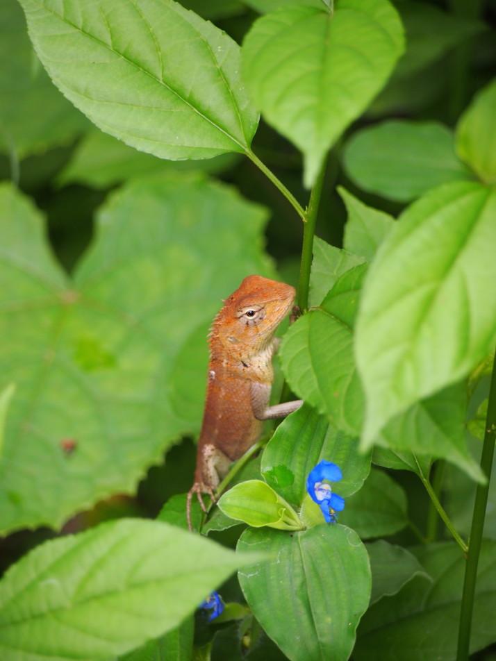 Lizard, Cambodia