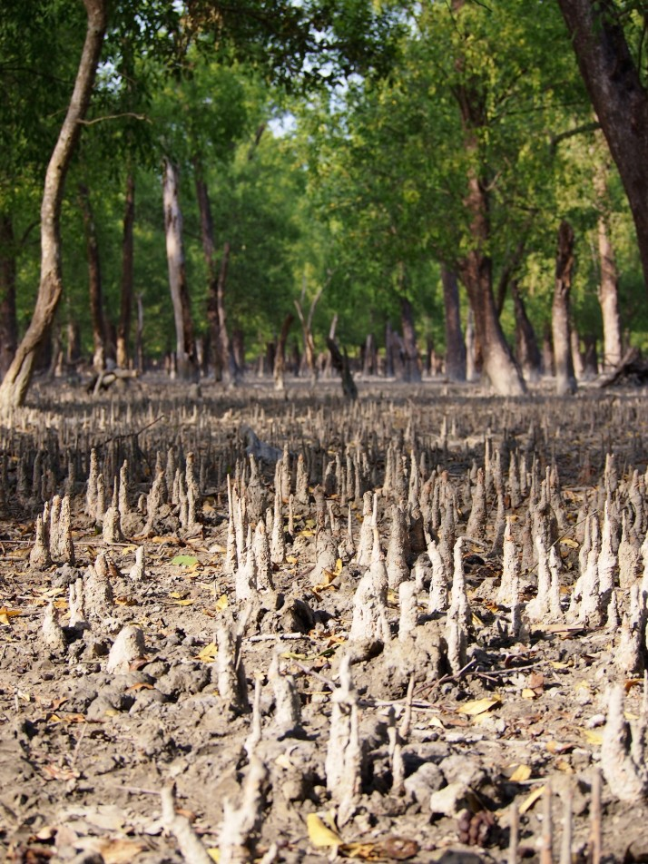 Forest floor, Sundarbans