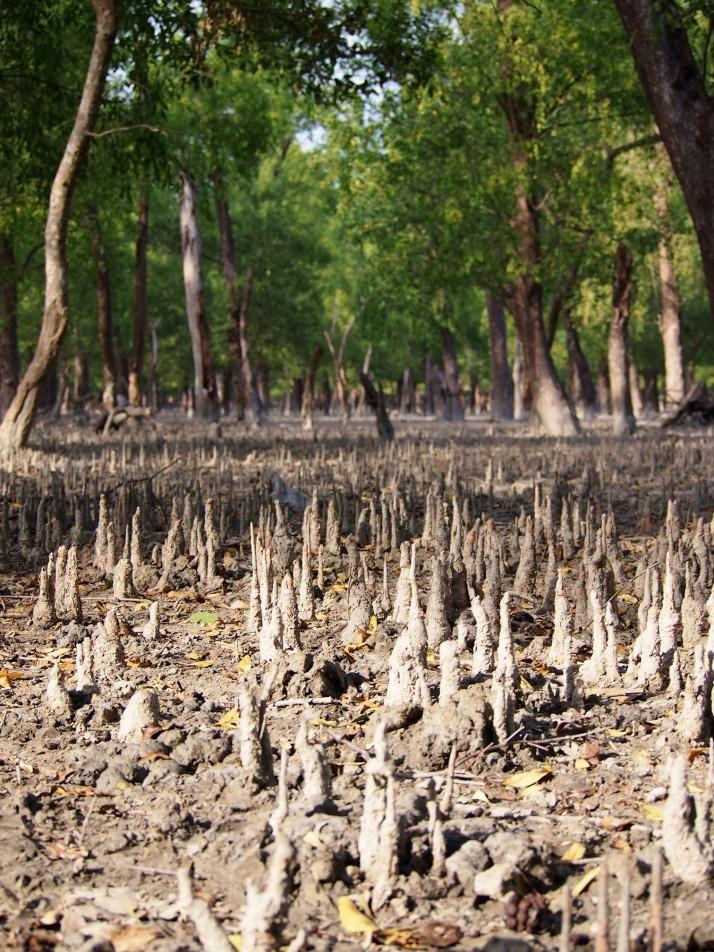 Forest floor, Sundarbans