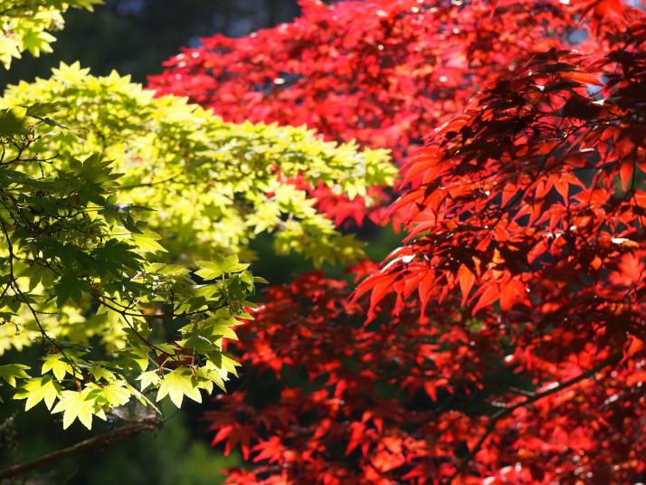 Sun through maple leaves