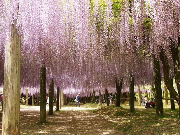 Wisteria canopy at Kawachi Fuji Garden