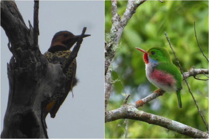 A Northern Flicker Woodpecker and the cute little Cuban Tody Flycatcher