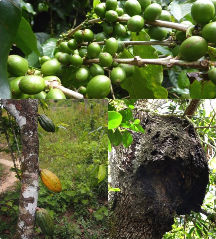 Collage of produce growing at tiny organic farm. Green coffee beans, a beehive and cocoa pods
