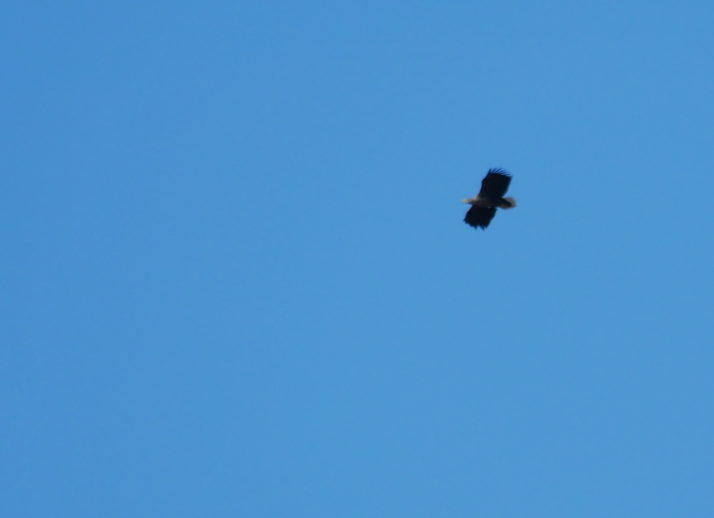 Sea Eagle souring high in a clear blue sky