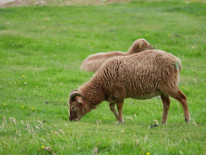 St Kildan sheep