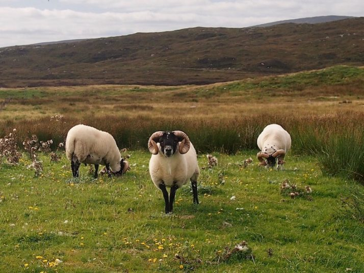 3 horned sheep grazing with rolling hills behind them